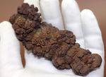 「ウンがつく!?」極めて保存状態の良い古代水棲生物の「あれ」の化石(コプロライト)