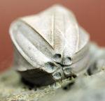 ウミツボミ、ペントレミテス(Pentremites sp.)のマルチプレート標本。米国イリノイ州産。