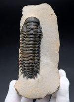 カーブ計測で90ミリの大型個体!美しく仕上げられた三葉虫、クロタロセファルス・ギブス(Crotalocephalus gibbus)の化石