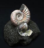 レアなロシア産の遊色アンモナイト、ヴェルツムニセラス(Vertumniceras)の化石、手前側に内側が見られるネガティブ標本あり!