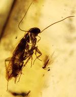 20センチオーバーの特大標本!クモ、アリ、羽虫、ゴキブリ・・・数え切れないほどの虫が閉じ込められています。ビッグサイズ&極太のマダガスカル産のコーパル(Copal)