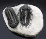 トサカのような棘を多数持つ、奇々怪々な姿が魅力的な三葉虫、コムラ・バルチンキ(Comura Bultyncki)とファコプス(Phacops)三葉虫