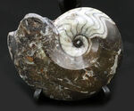 頭足類のコレクションを始めるならぜひゴニアタイト(Goniatite)から。アンモナイトの祖先、ゴニアタイトの上質化石
