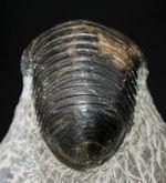 一品限り!極めてレアな三葉虫、パラホマロノトゥス(Parahomalonotus)の化石