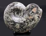 ユニークな柄が面白い、アンモナイトの祖先、ゴニアタイト(Goniatite)の化石
