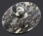 およそ4億年前のデボン紀の海に棲息していたゴニアタイト(Goniatite)を含む石を加工した皿