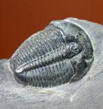 母岩付き、初期(カンブリア紀)の三葉虫エルラシア・キンギ。米国を代表する三葉虫の一つ。