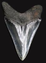 最高の保存状態を誇る、100%オールナチュラルのメガロドン(Carcharodon megalodon)の歯化石