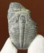 最初期(カンブリア紀)の三葉虫の一つ、米国で最も有名な三葉虫、三葉虫エルラシア・キンギ