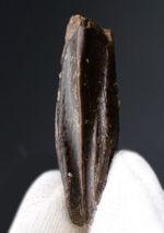 白亜紀最末期、マーストリヒト期に棲息していた最後の恐竜の一つ、非常に希少なエドモントサウルス(Edmontosaurus annectens)の上質の歯化石