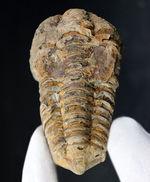 比較的初期の三葉虫の一つ、ディアカリメネ・ウーズレグイ(Diacalymene ouzregui)の大型標本