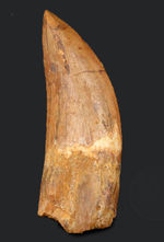 非常に希少なカルカロドントサウルス(Carcharodontosaurus)の紛れもない巨大歯化石。ロングカーブ計測で10センチ超え。フォルムも鳥肌モノの美しさ