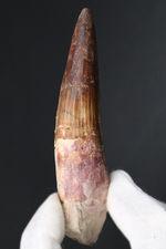 ベリーロング、10センチ超える、立派なスピノサウルス(Spinosaurus)の歯化石