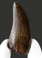 ナイスコンディション!希少性が年々、増している北米のティラノサウルス科の恐竜、アルバートサウルス(Albertosaurus)の歯化石