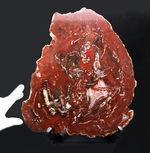 木の幹が宝石化!珍しいインド産の珪化木(Petrified wood)。有名産地に勝るとも劣らない素晴らしい朱赤色を呈します。