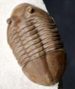 上質標本、深いキャラメル色にご注目ください!2つの展示方法ができる!ロシア産アサフスの祖先、アサフス・レピドゥルスの化石