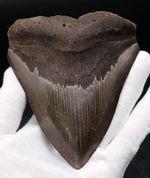 ベリーナチュラル!人気のメガロドン(Carcharocles megalodon)の歯化石