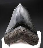 人気のブラックタイプ!サイズ、状態を兼ね備えた、ハイクラスのメガロドン(Carcharodon megalodon)の歯化石