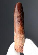 厳選品!美しきエナメル質が保存された、レッバキサウルス(Rebbachisaurus)の歯化石。良形かつ美品。