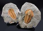 三葉虫の起源的存在!素晴らしい保存状態!ネガポジ揃った、上質のカンブリア紀三葉虫、パラドキシデス(Paradoxides)の化石