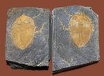 早々出てこないレベルのクオリティ、中国四川省産の三葉虫、シルル紀コロノセファルスのネガポジ標本(Coronocephalus sp.)