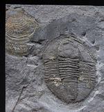 スーパーレア!知る人ぞ知る石炭紀ドイツ産三葉虫、アルケゴヌス・ラエヴィカウダ(Archegonus laevicauda)の大判化石