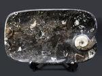 お皿としても利用可能な、古生代デボン紀のゴニアタイトを使ったプレート化石。