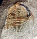 最初期の三葉虫の一つ、三葉虫、オレネルス・ギルバーティ(Olenellus gilberti)のネガティブ標本