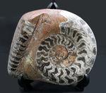 渦を巻いたものと真っ直ぐなもの。古生代の頭足類、ゴニアタイトとオルソセラスが同居した面白い化石