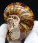 飴色に輝く美しきオウムガイ(Nautilus)の化石