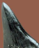 黒光りを放つ極上のメガロドンの歯化石。「ブラックメガロドン」をコレクションするチャンス!