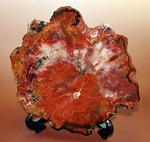 これがアリゾナ産だ!赤い!赤い!赤い!真紅に染まった珪化木