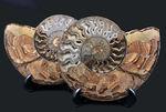 超特大15センチオーバー!アンモナイト、クレオニセラス(Cleoniceras)のカット&ポリッシュ標本