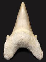 極めて上質!古代肉食ザメ、オトダス(Otodus obliquus)の歯化石。プレゼントにいかがでしょうか。