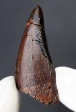 極めて希少!ナチュラルであり、かつ前上顎骨歯でもある、ティラノサウルス・レックス(Tyrannosaurus rex)の歯化石