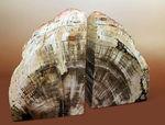 迫力7kg超え!高級感抜群のブラジル産珪化木(ケイカボク)、ブックエンドに最適。