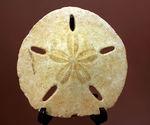 モロッコ産ジュラ紀の棘皮動物ウ二(Echinoid)の化石。俗称、サンドダラー。進化の深遠さに驚かされる。