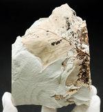 マニアックシリーズ!兵庫県須磨区産ヌマミズキ属の木の葉化石
