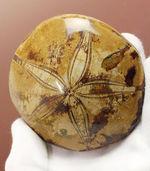 棘皮動物の象徴であるきれいに浮かんだ五芒星。中生代白亜紀のウニの化石