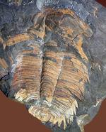 マニア向け標本、ベリーレア!チェコ産希少三葉虫、ハイドロセファルス・カレンス(Hydrocephalus carens)
