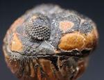 パックマン!モロッコ産のデボン紀の三葉虫、ファコプス(Phacops)のエンロール(防御)姿勢を取った化石