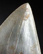ベリーナチュラル!セレーションが完全保存!左右対称!、三拍子揃った12センチオーバーのメガロドン(Carcharodon megalodon)の歯化石