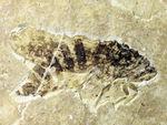 中国遼寧省産の昆虫化石。脚まで保存!