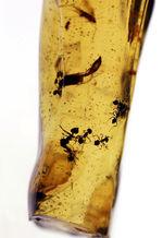 当時の環境がそのまま保存されたようなジオラマ標本。ラージサイズ!蟻や羽虫をはじめ、多数の昆虫内包。9センチに迫る長さに迫るマダガスカル産のコーパル(Copal)。樹液の化石