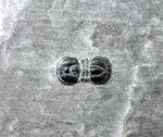 ブーツの底のようなカンブリア紀の三葉虫、ぺロノプシス(Peronopsis sp.)。アメリカ産ユタ州産。
