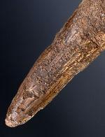 ファーストコレクションにいかがでしょうか?人気恐竜、スピノサウルス(Spinosaurus)歯化石