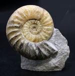 久々の登場、メノウ化した美しきジュラ紀のアンモナイト、アステロセラス(Asteroceras)