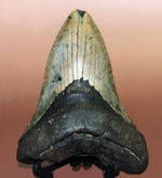 """史上最大最強の古代ザメ、""""メガロドン""""の名にふさわしい巨大な歯化石。辺計測で13cm超え!"""