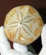 形の良い厳選品。マダガスカル産中生代ジュラ紀のウニ化石。(Clypeasteroid)