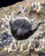 他のどの三葉虫ともに似ていない独特のフォルムが特徴的なオンニア(Onnia)の化石